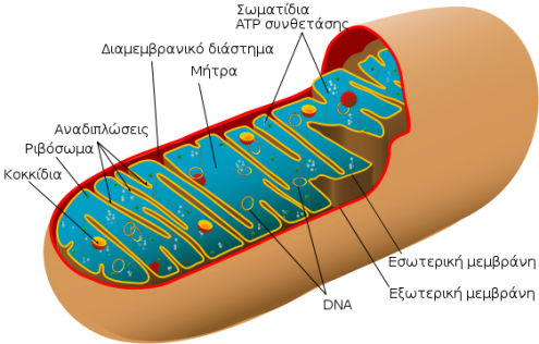 mitoxondria