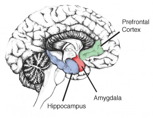Hippocampus-in-the-human-brain
