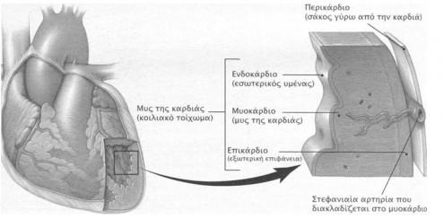 endoka myokardio perika