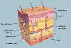 derma_anatomia
