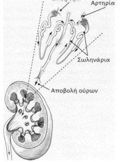 tomh nefron