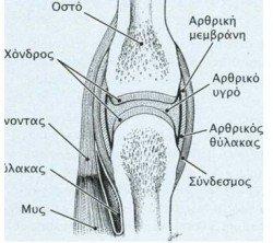 arthrosh gonatos