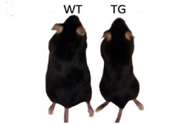 transgenic-mice