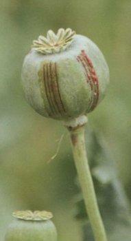paparouna opio 5