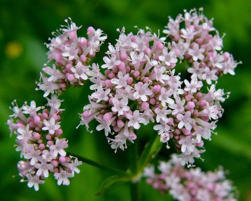 valeriana_officinalis55
