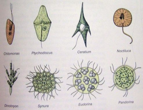 protozoa 3